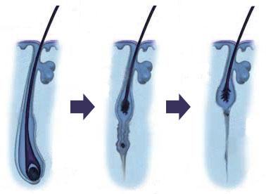 Rastový cyklus vlasov